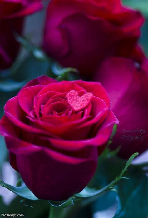 beautifull roses profile pictures  fb