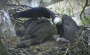 PA bald eagle cam shows cat being fed to baby eagles ...