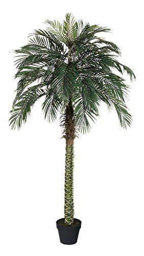 amerique gorgeous  feet tropical phoenix palm tree