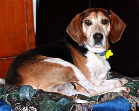 Bench Beagle by Paw Print This Beagle Mix Is Really A Southern Gentleman
