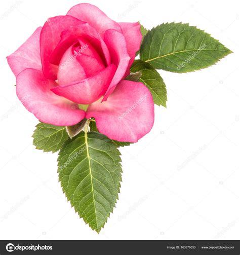 immagine fiore rosa una rosa rosa fiore con foglie foto stock 169 natika