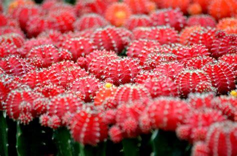 gambar kaktus bunganya fourlook mewarnai bunga di rebanas