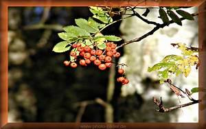 Kostenlose Bilder Herbst : bilder zum herbst vogelbeeren bild f r sie zum download ~ Yasmunasinghe.com Haus und Dekorationen