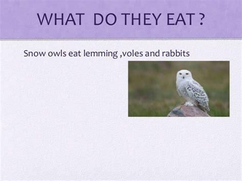 what do owls eat mackenzie snowy owls