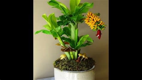 banana bonsai plant youtube