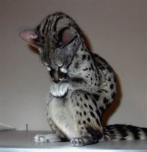 1000+ images about Spotted genet on Pinterest | The ...