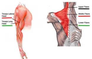 Muscle Lateral Head Tricep Exercises