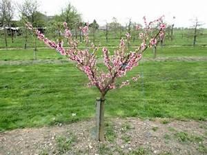 Quand Planter Un Pommier : comment arquer pour former un arbre fruitier en gobelet ~ Dallasstarsshop.com Idées de Décoration
