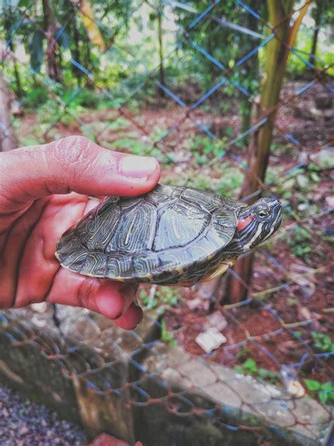 tartaruga terrestre alimentazione la tartaruga con le orecchie rosse ha alimentazione