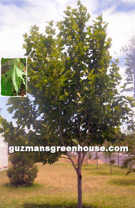 southwest trees guzmans greenhouse