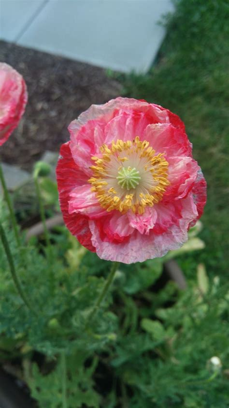 grow poppies  pictures wikihow