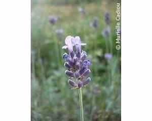 Plant De Lavande : plant de lavande vraie lavandula angustifolia godet ~ Nature-et-papiers.com Idées de Décoration