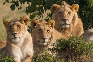 File:Lions Family Portrait Masai Mara.jpg - Wikimedia Commons