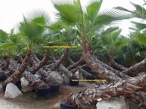 Palmier De Jardin : prix palmier ~ Nature-et-papiers.com Idées de Décoration