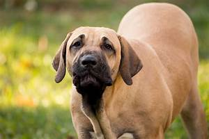 top 25 guard dog breeds