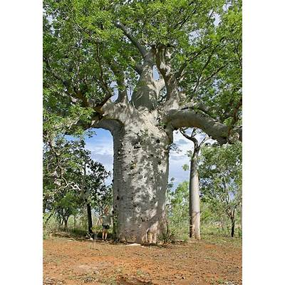 Adansonia gregorii 031209-3146Northern Territory