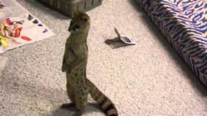 Exotic pet spotted genet standing like a person - YouTube