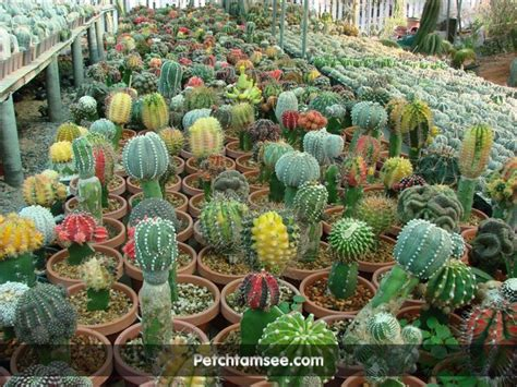 Cactus Thailand Petchtamsee   www.petchtamsee.com ...