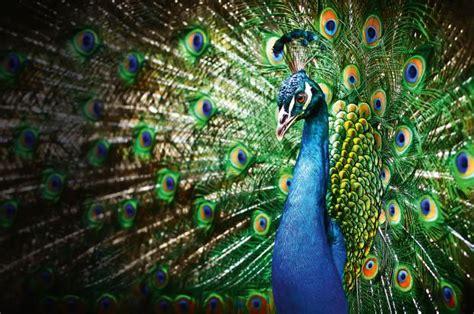 der pfau infos zum vogel im tierlexikon geolino