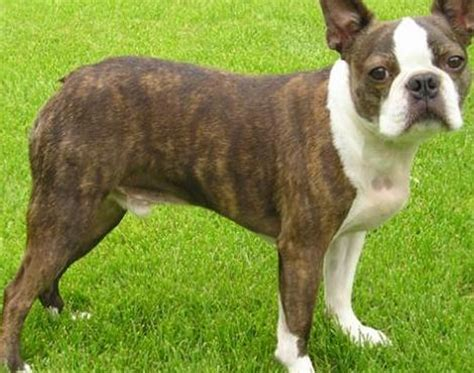 picture    boston terrier pictures images