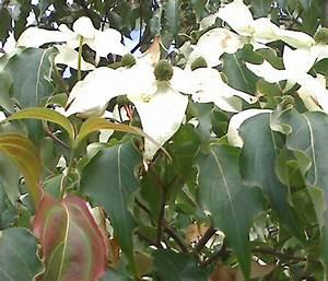 Baum Mit Weißen Blüten : baum mit weissen bl ten cornus capitata ~ Michelbontemps.com Haus und Dekorationen