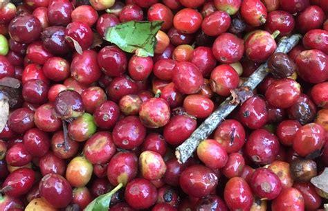 Discover The Superfood Power Of Whole Coffee Fruit Caribou Coffee Menu Sarinah Personalised Mugs Adelaide Mocha Vape Recipe Jokes Rapid City Torte Sandwich Hyderabad
