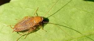 Cafard De Jardin Comment S En Débarrasser : les blattes de jardin comment s en d barrasser blog immobilier et jardin ~ Mglfilm.com Idées de Décoration