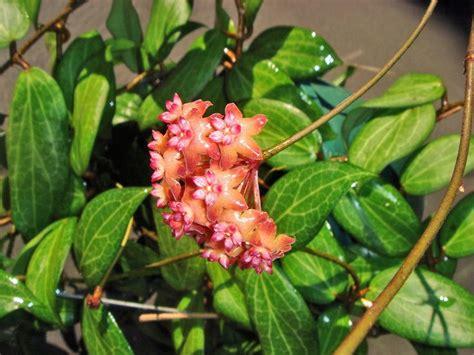 hoya fitchii      hoya      flower   hoya