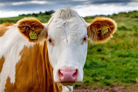 cows exude lots  methane  taxing beef wont cut