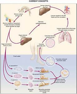 The gallery for --> Schistosoma Mansoni Life Cycle
