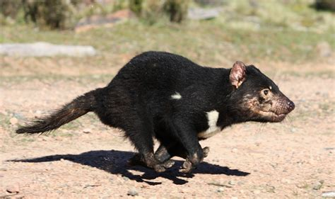 Most marsupials are herbivorous, but not these deceptive. Tasmanian Devil | Interesting Facts & Latest Pictures | All Wildlife Photographs
