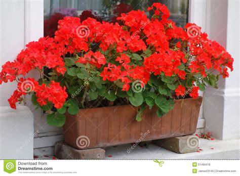 red pelargoniums  window box stock photo image