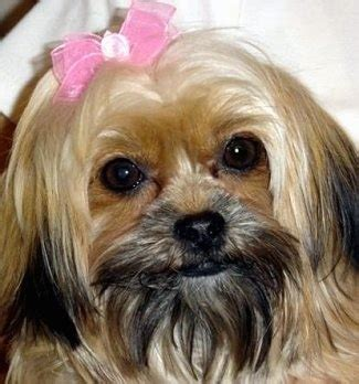 do shorkie poos shed shorkie tzu breed information and pictures