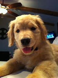 Ray Charles Blind Golden Retriever Puppy