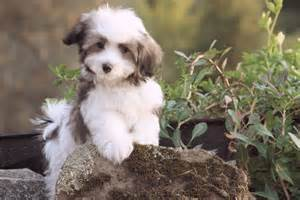 bichon breeds of dogs that dont shed dog breeds picture