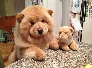 Chow Chow Puppy | Bored Panda