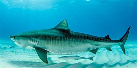 facts  tiger sharks   didnt   tiger sharks ocean scuba dive