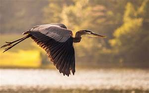 wallpapers: Great Blue Heron Bird Wallpapers