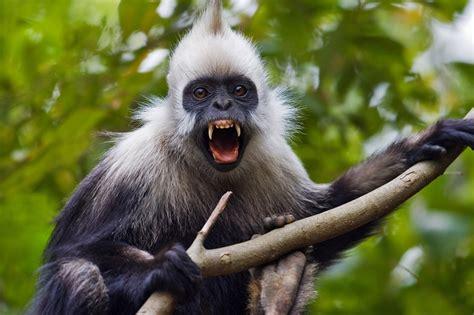 beautifulpresbytis leucocephaluswhite head monkey