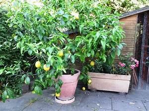 Alles Für Den Balkon : zitronenbaum essbare fr chte in birkenau sonstiges f r den garten balkon terrasse kaufen und ~ Bigdaddyawards.com Haus und Dekorationen