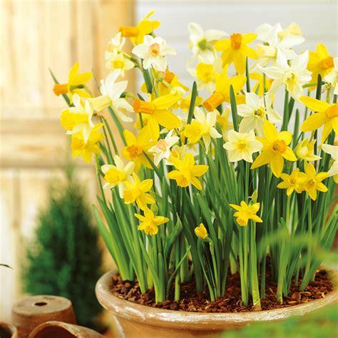 daffodil miniature bulbs patio mix blue cross