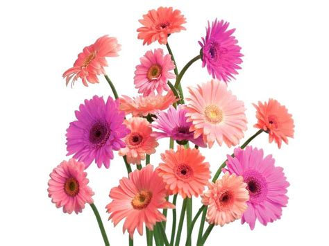 pink daisy wallpapers wallpaper cave
