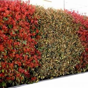 Haie Pas Cher Qui Pousse Vite : duo lauriers rouge et argent photinias et eleagnus vente en ligne d 39 un lot de 12 plants de ~ Mglfilm.com Idées de Décoration