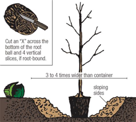 how to plant a tree how to plant containerized trees