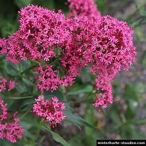 Winterharte Blühende Stauden : rote spornblume centranthus ruber ~ Whattoseeinmadrid.com Haus und Dekorationen