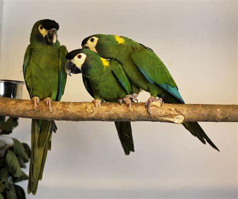 mini macaw golden collared macaw wikipedia