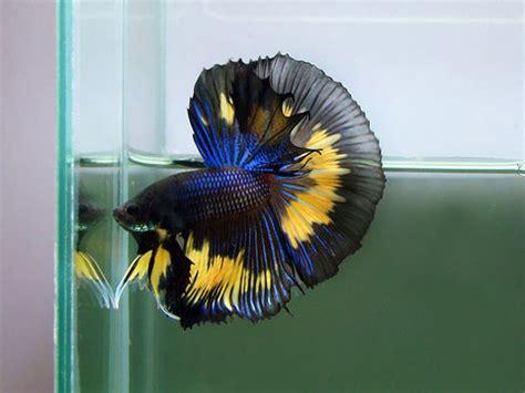 Rare Betta Fish Male