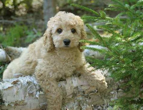 hypoallergenic breeds that dont shed small dogs breeds that dont shed breeds picture