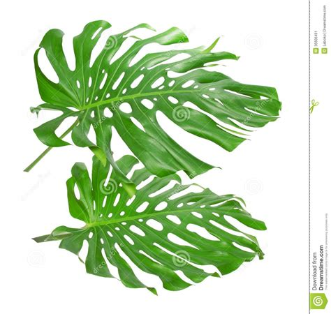 Two Tropical Leaves Stock Image Image Of Chlorophyll