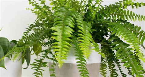 felce piante da interno  curare la felce